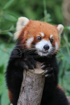 Picture of Red panda stock photo, images and stock photography. Alpacas, Funny Animal Jokes, Funny Animals, Cute Little Animals, Baby Animals, Panda Puppy, Otters Cute, Baby Puppies, My Spirit Animal