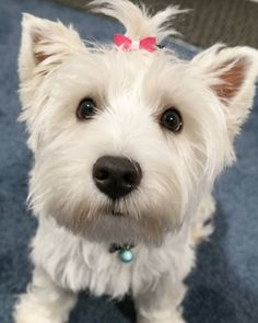 Lexy the West Highland White Terrier