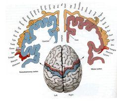Homunculus Brain Sensory and Motor Gross Anatomy, Brain Anatomy, Human Anatomy And Physiology, Homunculus Brain, Brain Science, Life Science, Science Education, Health Education