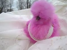 Fabulous Pink Fluffy Chicken draped in Pearls - Modern Silkie Chickens, Chickens And Roosters, Pet Chickens, Raising Chickens, Pretty Birds, Beautiful Birds, Animals Beautiful, Fancy Chickens, Chickens Backyard