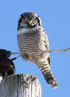 Northern Hawk-owl is one of the few owls that is not nocturnal. It's distributed throughout the world's boreal forests.