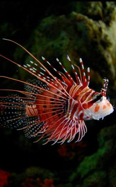 baby Tiger Fish also called the lion fish. Underwater Creatures, Underwater Life, Underwater Tattoo, Colorful Fish, Tropical Fish, Tiger Fish, Fauna Marina, Beautiful Sea Creatures, Life Under The Sea
