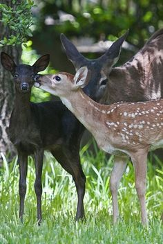 Doe with melanistic (dark from extra melanin in coat) and normal fawns.