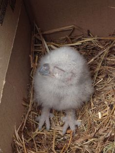 baby owl! from the blog of Karen Spears Zacharias