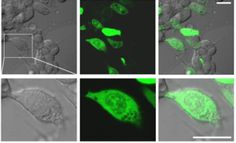 Intracellular temperature in HEK293T Cells detected with Cellular Thermoprobe for Fluorescence Ratio. tebu-bio