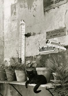 teaintheafternoon: Willy Ronis- Le Chat provençal, France, 1955.