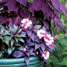 Impatiens: The vibrant orange-flowered New Guineas are positively sizzling in chocolate-brown containers.