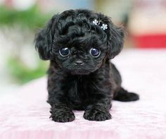 cute teacup puppies A teacup poodle. Cute Teacup Puppies, Cute Puppies, Cute Dogs, Dogs And Puppies, Doggies, Teacup Poodles, Teacup Maltipoo, Maltipoo Puppies, Toy Poodles