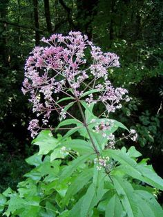 Sweet Joe Pye Weed (Eutrochium purpureum); Tall, fast growing shrub, with fragrance flowers that attract bees and butterflies. 4'x2' (1.2mx0.3m) wide.