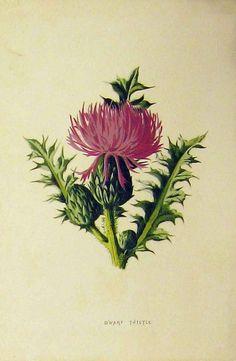Antique Prints of Thistles, Marsh and Dwarf Thistle Vintage Botanical Prints, Botanical Drawings, Antique Prints, Botanical Art, Thistle Tattoo, Illustration Botanique, Scottish Thistle, Wow Art, Vintage Flowers