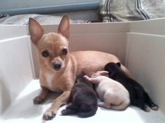 Chihuahua mommy