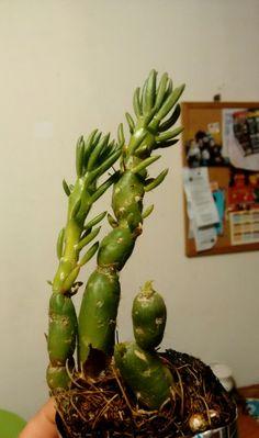 Mi nueva Austrocylindropuntia verschafetti la ayudaré a recuperarse de un mal cuidado en el vivero.