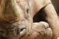 Hook-lipped Rhinoceros (Diceros bico Photos Close up of a Hook-lipped Rhinoceros (Diceros bicornis) relaxing on the ground. by dirkr Wild Animals Photos, A Hook, Rhinoceros, Birds In Flight, Close Up, Elephant, Design Inspiration, Creative, Marketing Ideas