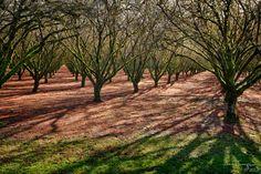 hazelnut orchard 3