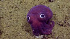 Cientistas encontram lula tão fofa que parece de brinquedo