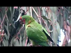 Mitred Conure Parrots of Southern California: