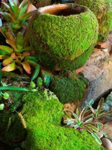 Grow your own moss: 5in x 5in sample of moss dead or alive from your garden or  nursery.  Pour the 2 c water and  2 c buttermilk into a blender. Add the moss Blend until thick, like a green milkshake. Paint or pour the mixture on where ever you want the moss to grow.. Keep the moss moist for the first couple of weeks; using a mister is great for this.