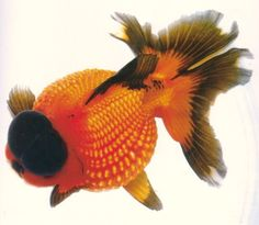 Pearlscale type of Goldfish                                                                                                                                                                                 More
