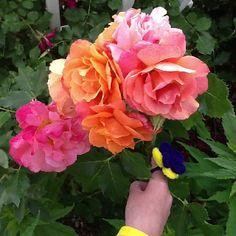 Disney roses