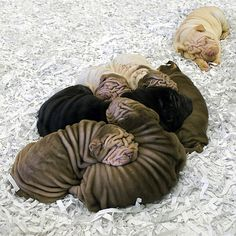 adorable Sharpei puppies - the little black one reminds me of my Caleb - he was so, so sweet and I miss him even still. Shar Pei Puppies, Cute Puppies, Cute Dogs, Dogs And Puppies, Doggies, Poodle Puppies, Bulldog Puppies, I Love Dogs, Puppy Love