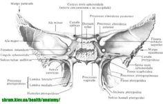 Sphénoïde shram.kiev.ua osseuse
