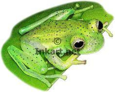 Emerald Glass Frog (Centrolene prosoblepon) Line Art and Full Color Illustrations Glass Frog, Frog Art, Stock Art, Illustration Art, Illustrations, Ink Art, Colour Images, Art Drawings, Emerald