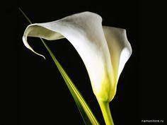 Фотография Калла на чёрном фоне, белое, лучшее, цветы, чёрное ... namonitore.ru600 × 450Buscar por imagen Калла на чёрном фоне, Цветы CLAVEL ROJO SOBRE FONDO NEGRO - Buscar con Google