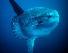 The Ocean Sunfish, or Mola mola.  They are GIGANTIC;  so huge, that the Mola that once lived at the Monterey Bay Aquarium had to be released because it grew too big for the tank... and that was one ginormous tank.  Molas swim slowly and are quite hypnotic to watch.