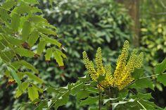 Apesar da frieza dos dias, ainda bem que há flores que nos vão aquecendo o olhar. As da mahonia (Mahonia japonica) são exemplo disso mesmo, como provam as inúmeras visitas de insectos polinizadores. Embora as suas folhas ponteagudas se assemelhem às do azevinho, esta espécie perenifólia é de uma família diferente. Se gostaria de as ver ao vivo e a cores venha este fim de semana ao lago e ao roseiral! (Foto: Ana Oliveira)