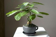 Bonsai Avocado – Avocado Grow DIY - Growing Plants at Home Bonsai Fruit Tree, Bonsai Plants, Bonsai Garden, Fruit Trees, Garden Plants, House Plants, Growing Seeds, Growing Plants, Indoor Bonsai