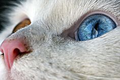 Heterochromia of the eye / Heterochromia is a result of the relative excess or lack of melanin. Incredible photo - zoom highly recommended