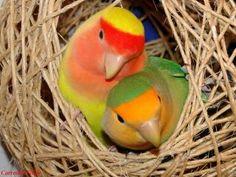 Periquitos no ninho