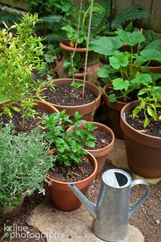 potted herbs -can never have 2 much basil~~