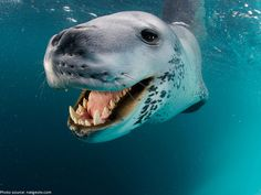 Interesting facts about leopard seals