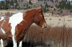 The wild ponies at Grayson Highlands in Virginia are relatively tame.  I love the colors on this painted pony.