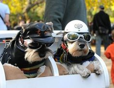 Here's a couple of Biker Bitches at a Harley Rally. Raza Schnauzer, Schnauzer Puppy, Miniature Schnauzer, Schnauzers, Chihuahuas, I Love Dogs, Puppy Love, Cute Dogs, Funny Animals