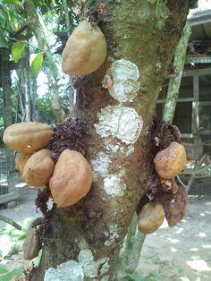 Nam-Nam (Cynometra cauliflora), an edible fruit tree from Southeast Asia