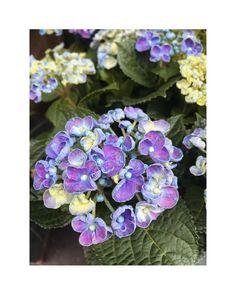 "flower overdose on Instagram: ""violet-blue hydrangea . . . . . . . . . . . . . . . . . . . . . #gardenflowers #beautifulflowers #flowers #flower #nature #garden…"" Blue Hydrangea, Beautiful Flowers, Garden, Nature, Plants, Instagram, Garten, Naturaleza, Pretty Flowers"