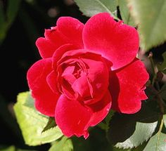 Canadian explorer rose..Alexander Mackenzie. Climbs and blooms even after very cold winters.