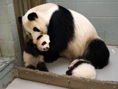 La panda gigante Lun Lun recoge su cachorro Mei Lun mientras que su otro cachorro Huan Mei duerme a sus pies en el Zoológico de Atlanta, Georgia, hoy 14 de noviembre de 2013. Los cachorros que son de casi cuatro meses de edad serán pronto colocados en la vista del público. (REUTERS / Tami Chappell) - See more at: http://hd.clarin.com/tagged/El+D%C3%ADa+en+Fotos/page/2#sthash.bZD32fL2.dpuf