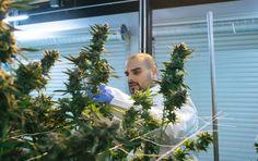 belmar-marijuana-mania-episode-3-700x441.jpg (700×441)
