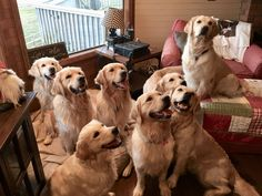 Family portrait I would love to have this many Golden Retrievers! Of course, would need a much bigger place...