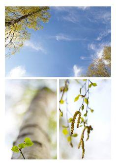 Birch in spring, Sweden