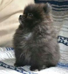Marvelous Pomeranian Does Your Dog Measure Up and Does It Matter Characteristics. All About Pomeranian Does Your Dog Measure Up and Does It Matter Characteristics. Spitz Pomeranian, Black Pomeranian, Cute Pomeranian, Pomeranians, Puppies And Kitties, Cute Puppies, Cute Dogs, Doggies, Cute Baby Animals