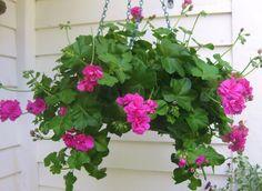 Cesta suspensa com flores do geranio pendente