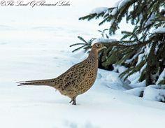 Fasaani Bird, Animals, Wild Boar, Female, Animales, Animaux, Animais, Birds, Animal