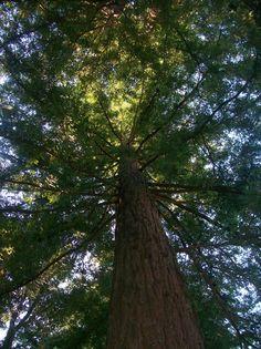 Big Sur Redwood