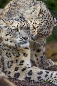 Kailash with one of her cubs (by Tambako the Jaguar)