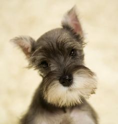 miniature schnauzer puppy - my heart is melting. Had a Schnauzer for 10 years. He even lived in Japan with us. His name was Fritz. What a cutie he was.