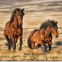 Wild Mustangs of Utah. I just love spending time with these Wild Horses in Utah  If you want to join me message me today  Have a Great Weekend